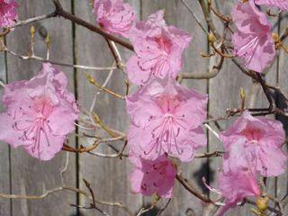 Cornell Pink Azalea