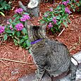 53 Hemingway 6-toed Cat