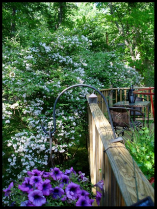 Deck, Beauty Berry Bush1